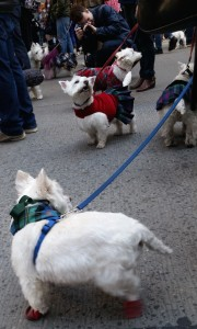As far as the eye can see....Westies